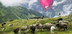 Euter über Herde ©Barbara Anna Husar, Postproduktion Elmar Bertsch, basierend auf einer Fotografie von Darko Todorovic